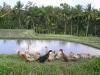 Ducks, Ubud, Bali