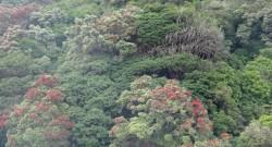 Pohutukawa trees on the beach